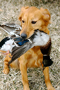 Quail Forever Bird Dog Guide - Rural Messenger