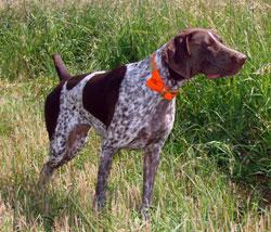 German Bird Hunting Dog Breeds