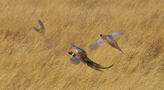 The quantity and quality of upland habitat is what ultimately has the biggest impact on pheasant numbers. Photo by PF Life Member Craig Armstrong