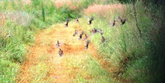 "Quail are ""edge"" birds, using field and border edges for feeding, nesting and cover."