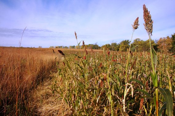 "Shown: Pheasants Forever's ""Winter Shield"" Signature Series Food and Cover mix"