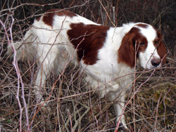 Breeds Of Bird Dog That Are White With Black Spots