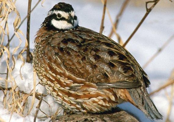 Where do quail live?