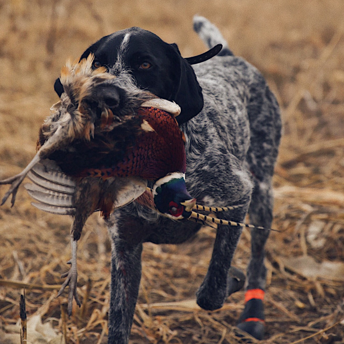 Image of: Estate Investors Ryan Nelsons German Wirehaired Pointer oakley Pinterest Bird Dogs For Habitat 2017