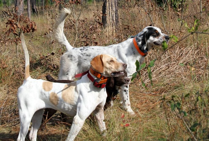 Running multiple dogs: A settler, pointer and cocker working together on quail.