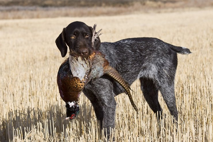 The German Wirehaired Pointer A Bird
