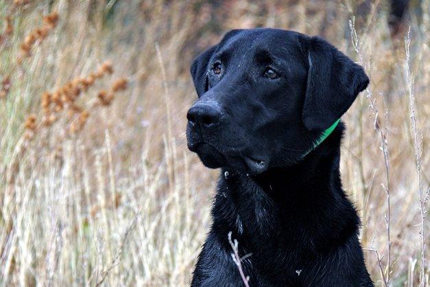 sporting dogs labrador retrievers birds of prey and - 660×440