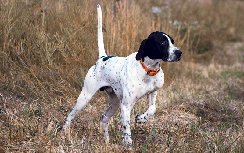 Image of: Pheasant Hunting Putting Your Dogs Through summer School Also Tells You Where The Birds Are Located Pheasants Forever It Takes Birds To Make Bird Dog