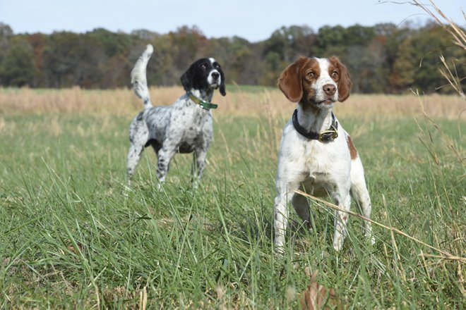 Pheasant Hunting Dog Training Tips