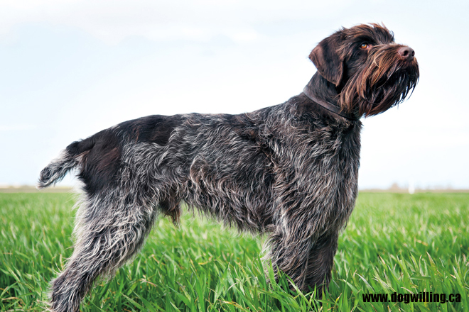 Wirehaired-Pointing-Griffon