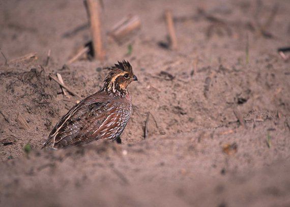 A lack of quality cover can make pheasants susceptible to predators – of both aerial and ground variety.