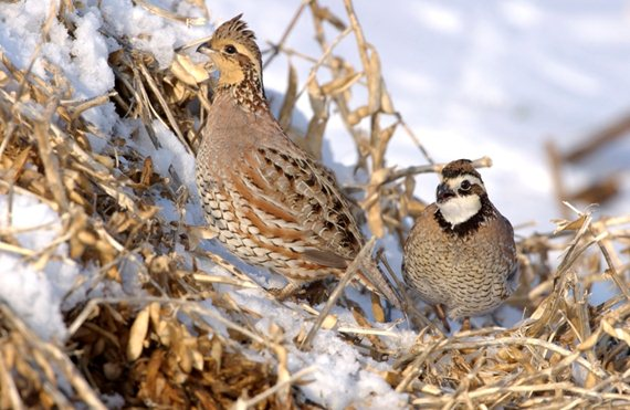 Best Food Plots For Quail