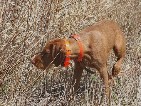 Wirehaired-Vizsla
