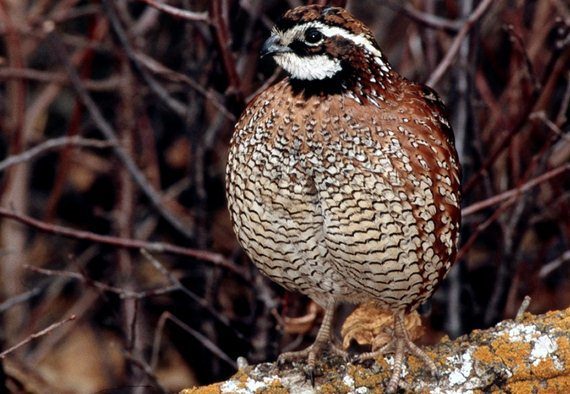 The bobwhite quail has the largest range of any game bird in America.