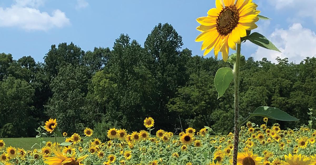 Sunflower Butterfly by Zach Wyatt – Dove Kandy – IN