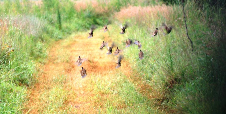 upland habitat basics Quail Template quail are \