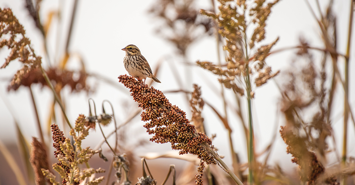 Sorghum Savannah Sparrow by Nancy Barrett – Winter Shield – CT