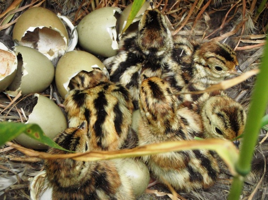 Pheasant chicks may start hatching in May, but mid-June is usually the peak of the hatch.