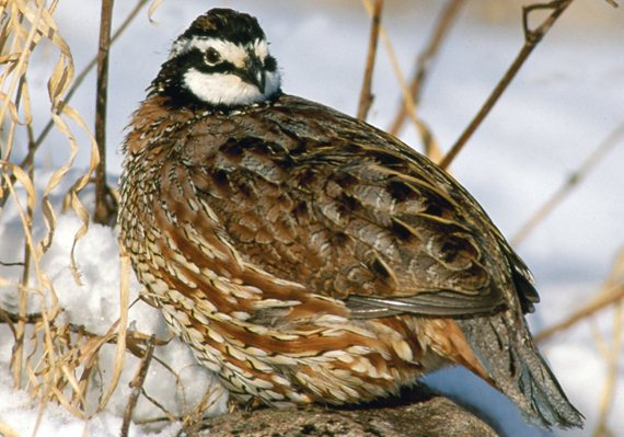 Quail require a lot of energy to survive sub-zero temperatures, but as long as enough food is easily accessible, they usually have little trouble withstanding the cold.
